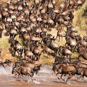 Wildbeest Migration at the Maasai Mara
