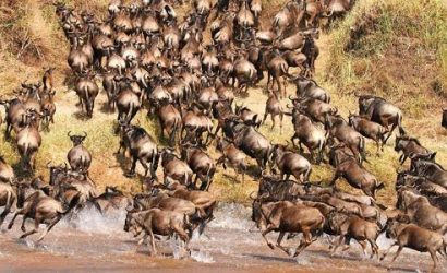 Wildbeest Migration at the Maasai Mara