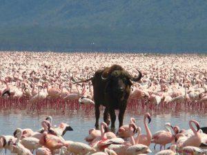 Lake Nakuru Flamingoes Attraction